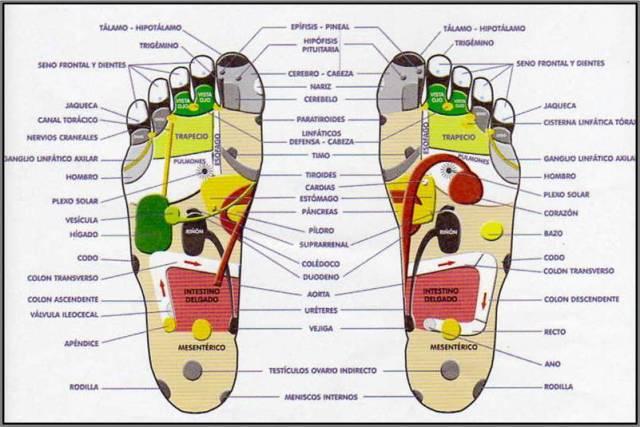 Partes reflejas del cuerpo que encontramos en las plantas de los pies.